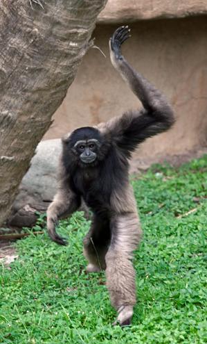 12 gibbon