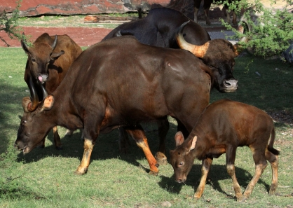 SUPER ANIMAL: Gaur
